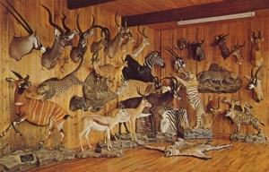 Many of these hunting trophies in this room are probably now considered endangered species. This is kind of like a zoo, except all the animals are dead, stuffed, and mounted.