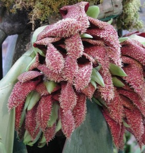 bulbophyllum_sized