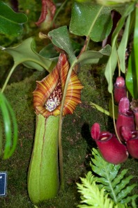 Nepenthes truncata on exhibit 2