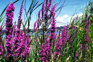 purple_loosestrife_flowers