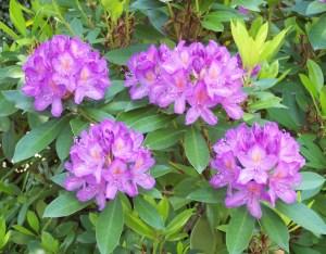 Rhododendron_ponticum