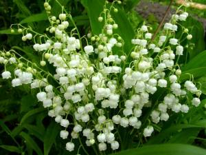 Spring-Flowers-Lily-of-the-Valley