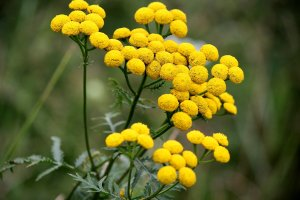 tansy_flower_by_hitana87-d3q8jnu