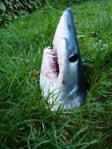 Now a shark in the ocean could scare the bejesus out of a crowd of people at the beach. Lawn sharks, well, no one is safe from them.