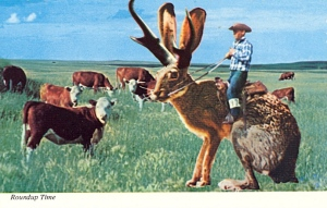 "The back of this postcard says, ""This rare species of Jackalope used in cattle roundups are very dependable and easily trained. A breed of Antelope and Jackrabbit. their cries often sound human and tuneful, probably form hearing cowboy songs at roundup time."" I'm sure this is totally not bullshit (it is since rabbits can't be that huge)."