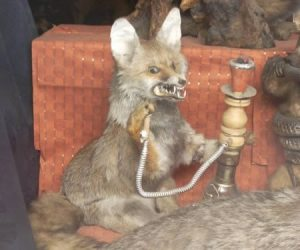 Yeah, this fox really wants to get high from smoking the hookah right now. Note that hookah smoking isn't a safe alternative to cigarettes and can kill you.