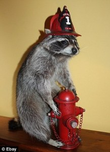 Either the raccoon's turning on the hydrant, taking a whizz, or possibly both. Still, it's probably both.