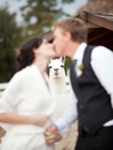 This would've been perfect if the groom in question was Napoleon Dynamite. Still, the llama's presence really kills the mood here. Perhaps getting married at a llama farm isn't a good idea.