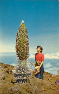 "From another card: ""The SILVERSWORD—a member of the composit family, grows from 4 to 20 years—finally sending up a flower stalk 1 to 9 feet tall—then dies. Hawaiian name is ""Ahina Ahina"" which means Silver Hair. The Silversword is found only in Hawaii."" Yeah,  it's a real plant, but I'm sure your folks back home might see it as a prank. Seriously, this is one of the most phallic Hawaiian plants I've ever seen."
