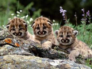 Awww, look at the cute cougar babies. Don't their faces just make you want to take one of them home with you? But remember that trying to pet or hold one of these adorable cubs is a quick way for its mother to send you to the ER and/or ICU. Yeah, you'd be an idiot to try to get one of these adorable kitties.