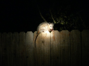Many wild animals tend to be active at night like this opossum. Of course, this might explain why I have often found so many of their carcasses on roadsides. Also explains why I find deer tracks on the roads during some of my morning walks.