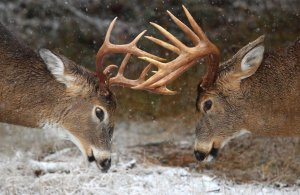 During the mating seasons, wild animals can be more aggressive than usual, particularly if they're stag males or males trying to mate with as many females as possible. For some, to say that comparing their mating seasons to Pon Farr isn't much of a stretch. This is especially the case with the deer rut in which the male antlered deer compete with each other for mates through sparing.