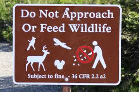 There's a reason why feeding wild animals is illegal. Essentially it gets them too used to people which can lead to attracting other animals as well as attacks. A wild animal that's lost its fear of humans is dangerous and more aggressive, especially when hungry. While camping, always use proper food storage and garbage disposal as well as keep a clean camp.