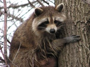 Though raccoons are better known for being active at night, it's not uncommon for some to be out in the daytime. So if a raccoon is out and about during the day and doesn't seem to show any other abnormal behavior, it's probably not rabies.