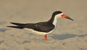 The Black Skimmer's remarkable bill sets it apart from all other American birds. Its large red and black bill is knife thin and the lower manible is longer than the upper. The bird drags the lower bill through the water as it flies through the water it flies along, hoping to catch a small fish.