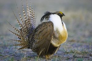 The Gunnison Sage Grouse is known for its elaborate courtship ritual with males congregating in a lek