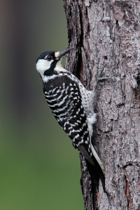A rare bird, the Red-Cockaded Woodpecker lives in the mature pine forests of the American South. While it pecks on wood like most woodpeckers, it specifically seeks living pines with red heart fungal disease. Such specificity of its habitat makes it extremely vulnerable to habitat loss.