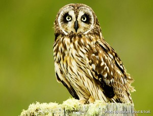 The Pueo is a actually subspecies of the Short-Eared Owl that is endemic in Hawaii. But it has been attributed by Hawaiian mythology as one of the physical forms assumed by ʻaumakua who were the ancestor spirits of Hawaiian mythology.