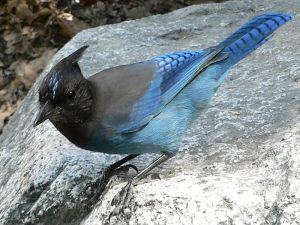 The Steller's Jay moves around with bold hops of their long legs, both on the ground and on the spokelike main branches of conifers. It also has incredible spatial memories as well as rob caches and nests of other birds. They are very social and can sometimes join mixed species flocks. Not to mention, it can keep up a running commentary on events as well as instigate mobbing of predators and other dangerous intruders.