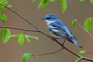 The Cerulean Warbler is the fastest declining neotropical migrant songbird. Yet, despite its problems, there seems to be declining in West Virginia a lot slower than other places. No one knows why.