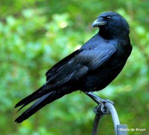 The American Crow is a true survivor since it's highly adaptable, social, and intelligent that no matter how much humans want to kill them, they will keep coming. They're also known for traveling in family groups of up to 15 and contain young from 5 different years. They can sometimes make and use tools.