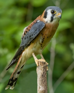 The American Kestrel is the smallest falcon of North America. Yet, it packs a predator's intensity into its small body. It can also see ultraviolet light and hide surplus kills to save food in lean times and conceal it from thieves.