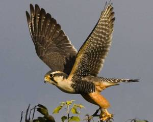Now the Aplomado Falcon might have a small sustaining population in Southern Texas. But this is the predator most small birds fear which says a lot. Besides, this is the kind of raptor that would make a state bird Texans would be proud of.