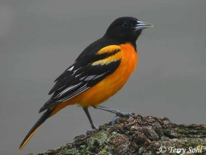 Since the Cleveland Browns decided to high tail it to Baltimore and change their name to the Ravens, I think it's only fair that Ohio gets to use the Baltimore Oriole as its state bird. From now on, it'll be known as the
