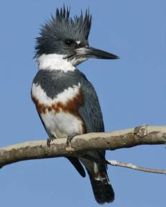 The Belted Kingfisher always seems to have an air of self-importance while patrolling up and down rivers and shorelines. It's also one of the few species where the female is more colorful than the male. As you've seen in most bird species, this isn't the case.