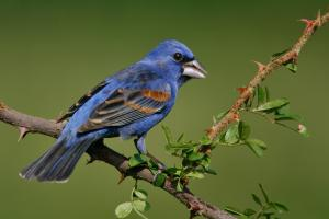 The Blue Grosbeak is a member of the same family as the Northern Cardinal even if you might not have heard of it. And since Kentucky is the Bluegrass State, perhaps this would make a more appropriate state bird. Just call it a