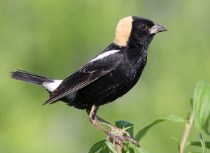 The Bobolink is said to be one of the world's most impressive songbird migrants traveling some 12,500 miles from South America per year. In their lifetime it's said they may travel the equivalent of 4 or 5 times around the circumference of the earth. Also, while a male may mate with several females, each clutch of eggs laid by a single female may have multiple fathers.