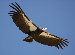Though the California Condor is a scavenging buzzard, it's been seen as an important symbol for Native American mythology in California. It's also the largest land bird in North America and one of the longest living.