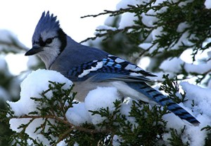 Yes, I know the Blue Jay has a reputation for being an obnoxious and aggressive bird. But they're also quite beautiful, intelligent, and tough. I mean they're known to chase hawks and owls.