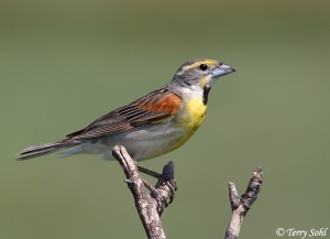 The Dickcissel is a grassland bird that prefers the fields of the Midwest. The males are also said to have up to six mates but most usually have one or two.