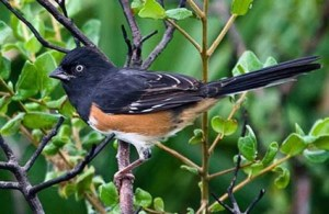 The Eastern Towhee is a large and striking sparrow as well as the bird of the undergrowth. It's said its rummaging makes far more noise than what you'd expect for their size.