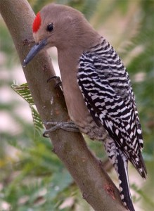 While the Gila Woodpecker might be small, they are an important protector of the saguaro cactus. Not only does it eat insects that might harm the cactus, it also cuts away unhealthy flesh from the plant as well. They are also more common in Arizona than the Cactus Wren and prettier, too.