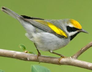 Minnesota has the highest remaining density of the Golden-Winged Warbler. In fact, it's home to about half its global population. However, these birds have also experienced one of the steepest declines of any songbird species in the last 45 years.