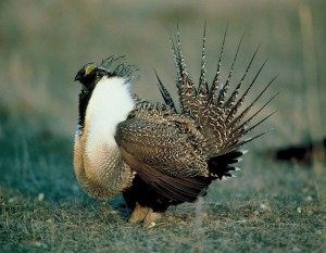 The Greater Sage-Grouse may only inhabit northern Nevada. But I'm sure the male of this species looks like he's straight from Las Vegas.