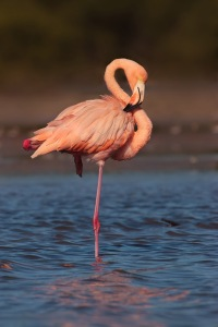 Now the American Flamingo isn't as common in Florida as some of its other birds. And it's only recently that they have returned to the Everglades. However, it's still the bird that comes to mind when you think of Florida. So why this isn't Florida's state bird already is beyond me.