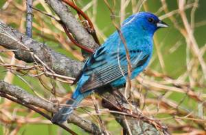 The Indigo Bunting is said to migrate at night, using the stars for guidance. It's also said to possess an internal clock, enabling it to adjust their angle orientation to a star, even as that star moves through the night sky.
