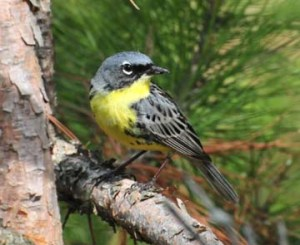 Kirtland's Warbler is a rare bird of Michigan's jack pine forests. It depends on fire to provide small trees and open areas meeting its nesting requirements. Yes, this bird really hates Smoky the Bear's guts.