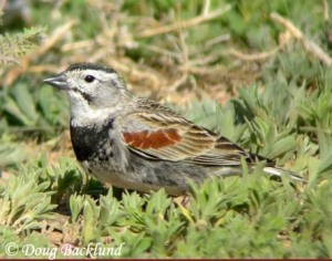 McCown's Longspur is the songbird of the barren ground in the Great Plains such as short grass prairies and overgrazed pastures. The male is known to maintain its territory through aerial displays.