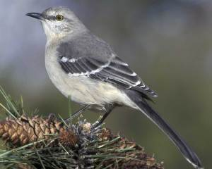 While the Northern Mockingbird can be found anywhere, Alabama's association with Harper Lee and the Civil Rights Movement kind of makes it an appropriate state bird there. As Lee put it, To Kill a Mockingbird is to kill what is innocent and harmless like Tom Robinson.