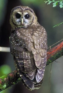 The Spotted Owl's status as the indicator species of old-growth forests, it's one of the most studied species in the world. Unfortunately, preservation efforts for this bird have been controversial in the Pacific Northwest, for obvious reasons. This is especially the case since those most vocal against its conservation are from the logging industry.