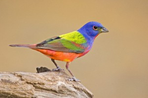 The male Painted Bunting is said to be the most beautiful bird in North America. Unfortunately, this doesn't stop it from being captured as a caged bird during its wintering in Central America. Now the species is Near Threatened.