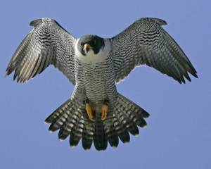 The Peregrine Falcon is the fastest animal in the world flying over 200 mph during its characteristic hunting stoop. It's also among the most widespread, seen in almost every place on earth except extreme polar regions, very high mountains, most tropical rain forests, and New Zealand.