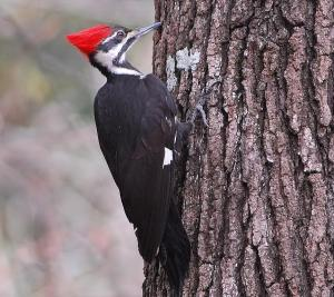The Pileated Woodpecker may not be a rare bird, but its sheer size makes its presence unmistakable. Not to mention, its association with the Ivory-Billed Woodpecker makes it a good fit as the state bird of Arkansas.