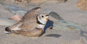 Like many plovers, the Piping Plover is known to feign a