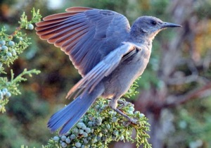Now the Pinyon Jay isn't a common bird in Idaho, people in this state seem to hold some kind of affection for it. Nevertheless, their highly social behavior makes them a rather dependable presence in the state.