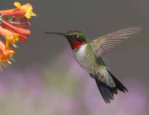 The Ruby-throated Hummingbird is the only breeding hummingbird in eastern North America. But in terms of area, it occupies the largest breeding range in the continent. Still, it's said that people in North Carolina love this little hummingbird that many put hummingbird feeders to watch them.